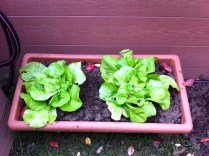 These lettuces have been through it all; overcrowded, moved into sun and nearly dried out, attacked by snails & slugs. Moving them to a shaded spot has worked wonders.