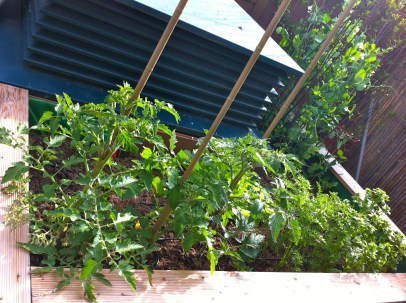 tomatoes threatening to create their own forest as well...