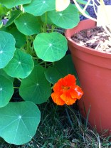 In any event, the Nasturtium doesn't seem to be bothered, it even flowered.