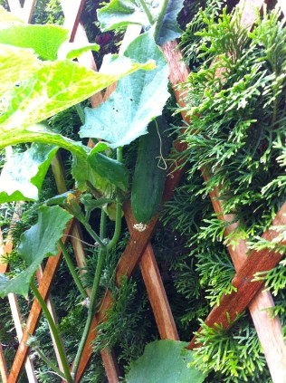 My cucumber is also slowly growing tall and big enough to securely bear fruit.