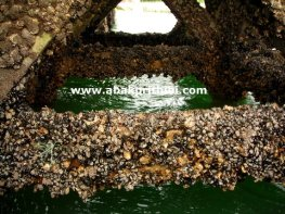 Oyster Farming in Arcachon Basin, France (2)