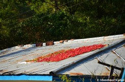 North Korean Peppers Drying In The Sun