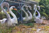 Black Swan, White Swan, Flamingo