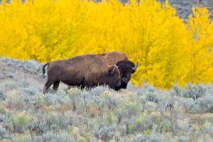 Author: Arturo de Frias Marques via Wikipedia Commons American bison 'Tatanka'