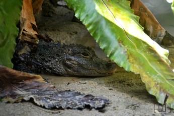 Yangtze alligator at the River Safari | 05.25.14