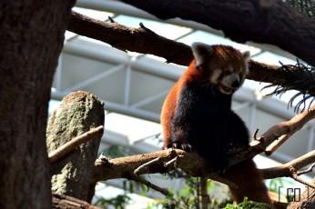 Red panda at the River Safari | 05.25.14