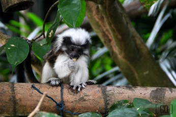 Cotton-top tamarin at the Singapore Zoo | 05.25.14