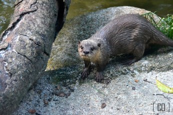 Otter at the Singapore Zoo | 05.25.14