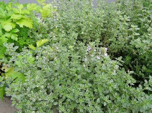 Variegated thyme in flower