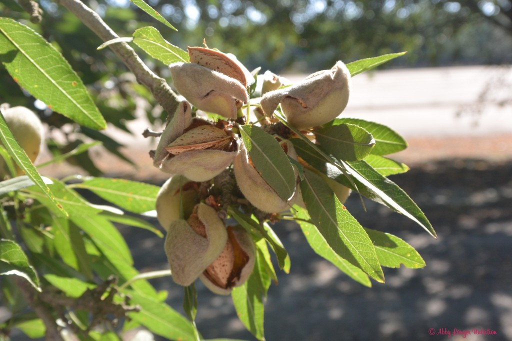 Almond Orchard Branch