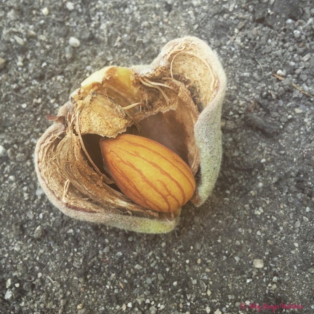 Almond Orchard Close Up Nut