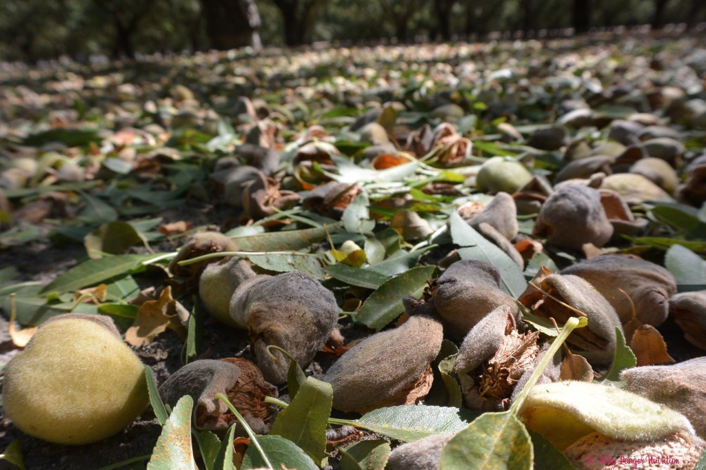 Almonds on the orchard floor after being shaken off the tree