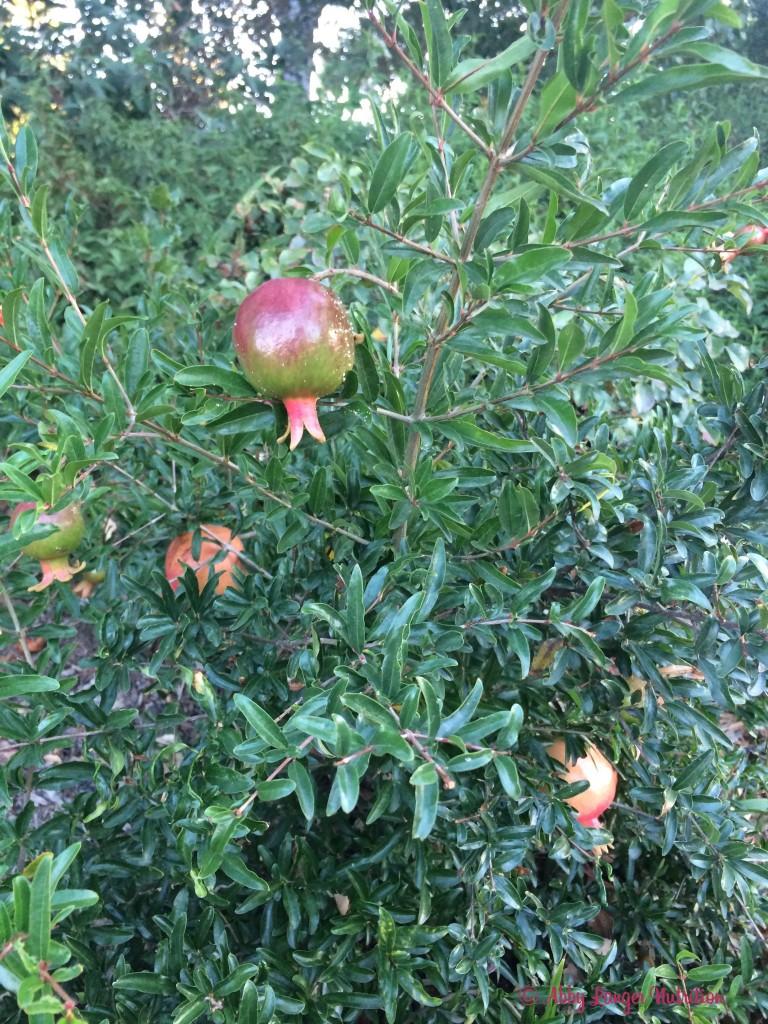 Almond Orchard Pomegranate