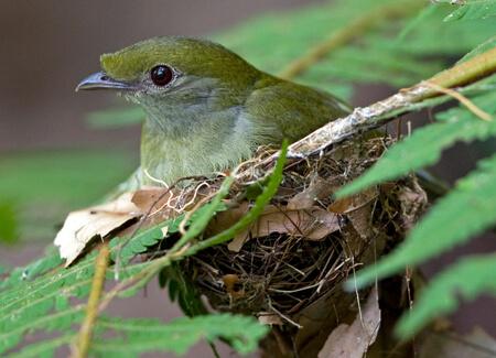 Araripe Manakin female on nest, Ciro-Albano