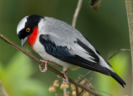 Cherry-throated Tanager map, NatureServe