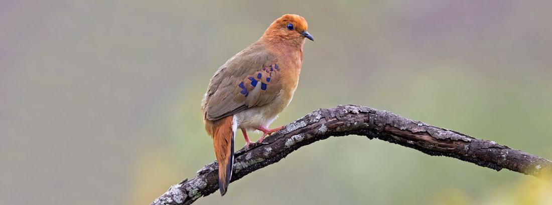 La paloma terrestre de ojos azules se encuentra entre las aves más raras que se encuentran en América del Sur.  Foto de Ciro Albano.