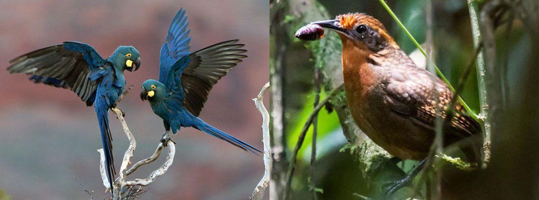 Los guacamayos de Lear suenan como mucha gente imagina que suenan las aves tropicales.  Foto de Ciro Ginez Albano Derecha: Musican Wren.  Foto de Nick Athanas / Flickr