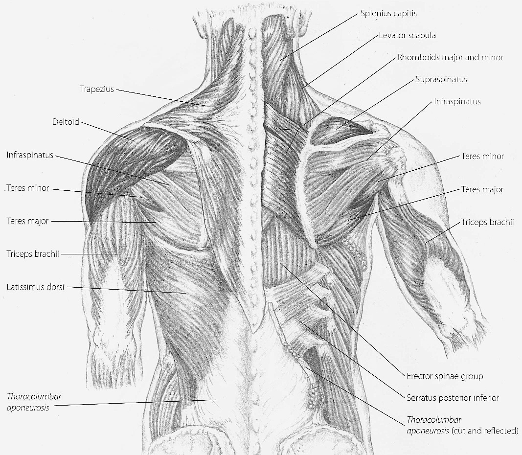 Back Of Arm Muscle Diagram