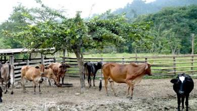 Photo of La sequía ha dejado mortandad de reses en la sierra