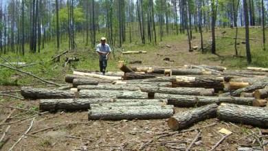 Photo of Urge reforestación en la sierra de Zihuatanejo con Sembrado Vida