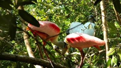Photo of Anidación masiva de aves migratorias en estero de playa Linda