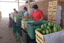 Photo of Salen a empacar mangos para el sostén de sus familias pese a la pandemia