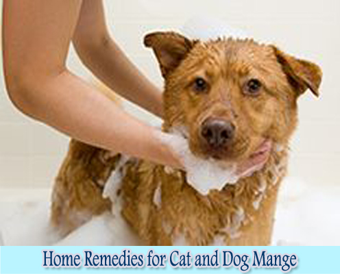 10 Home Remedies For Ear Mites In Dogs Note: Ear mites in dogs can be a serious condition. If your dog has already reached the stage where his ears have become swollen, red, or there is blood, don't waste time in applying remedies.