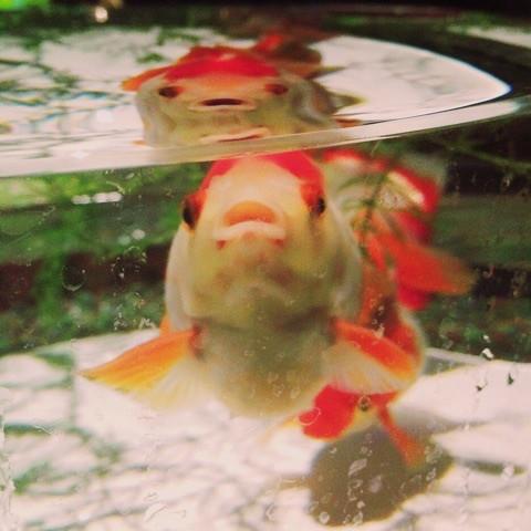 魚 | 金魚  | 高品質で安いネイルサロンABCネイル 池袋店