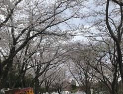 おでかけ | 桜 | 高品質で安いネイルサロンABCネイル 柏店