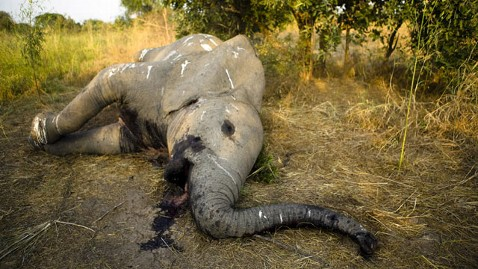Image results for poaching of african elephants