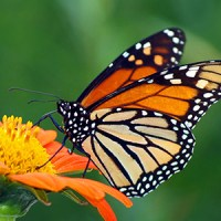 Monarch Butterfly Reflection