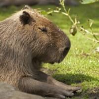 Capybara Reflection