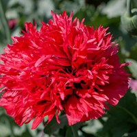 Carnation Flower Reflection