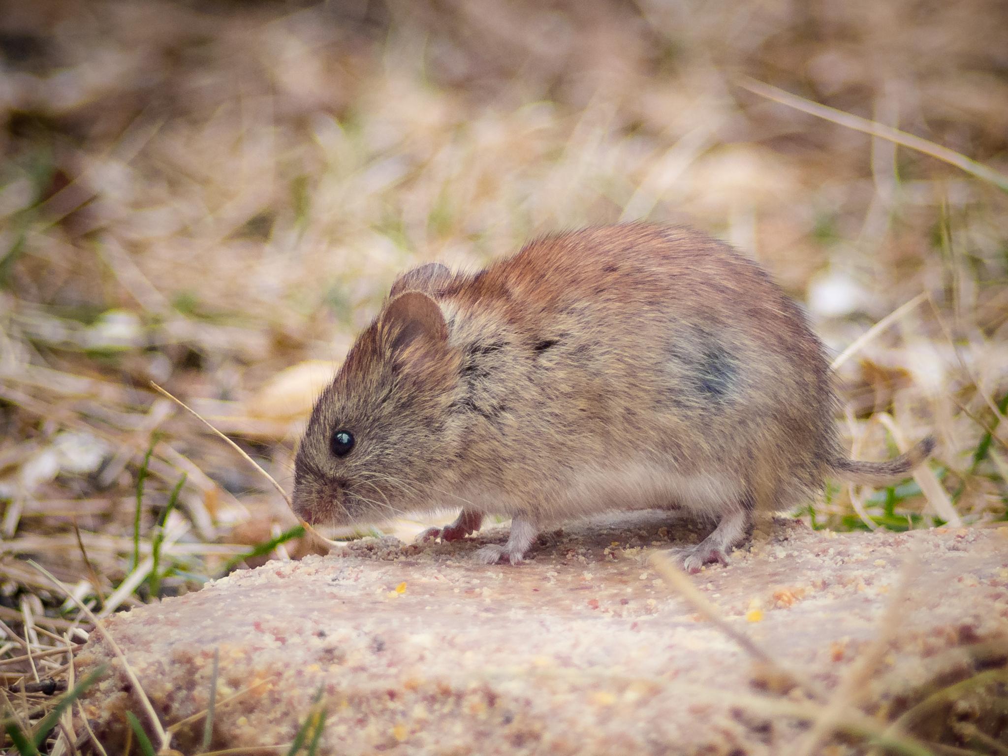 Professional Mouse Elimination