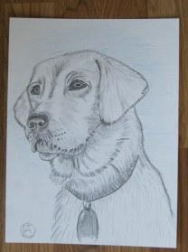 labrador pencil sketches (13)