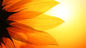sunflower-background