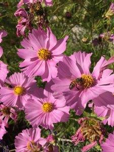 abeilles-fleurs-cosmos.jpg