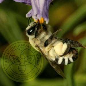 Insecto - Polinizador
