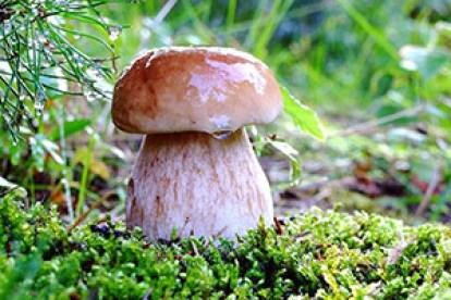 Грибные палочки – удобная технология в грибоводстве