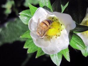 abelha-morango14