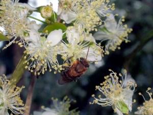 abelha-pitanga15