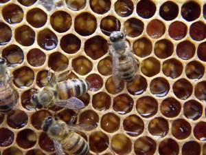 apicultura (74)
