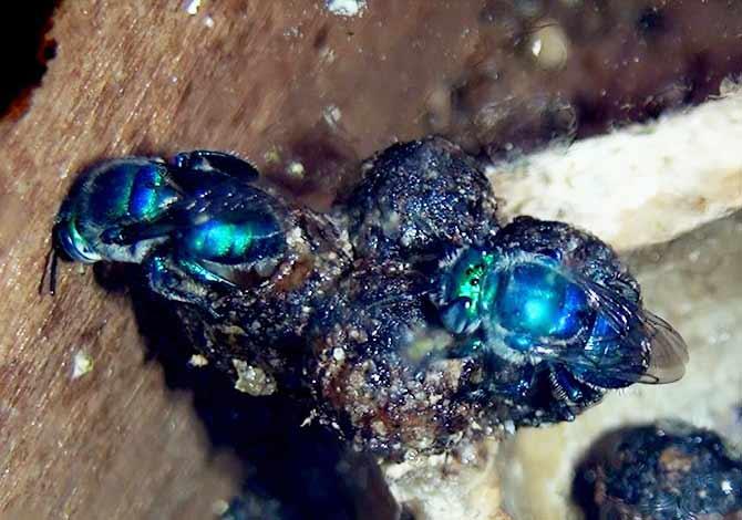 abelha-Euglossa-melanotricha