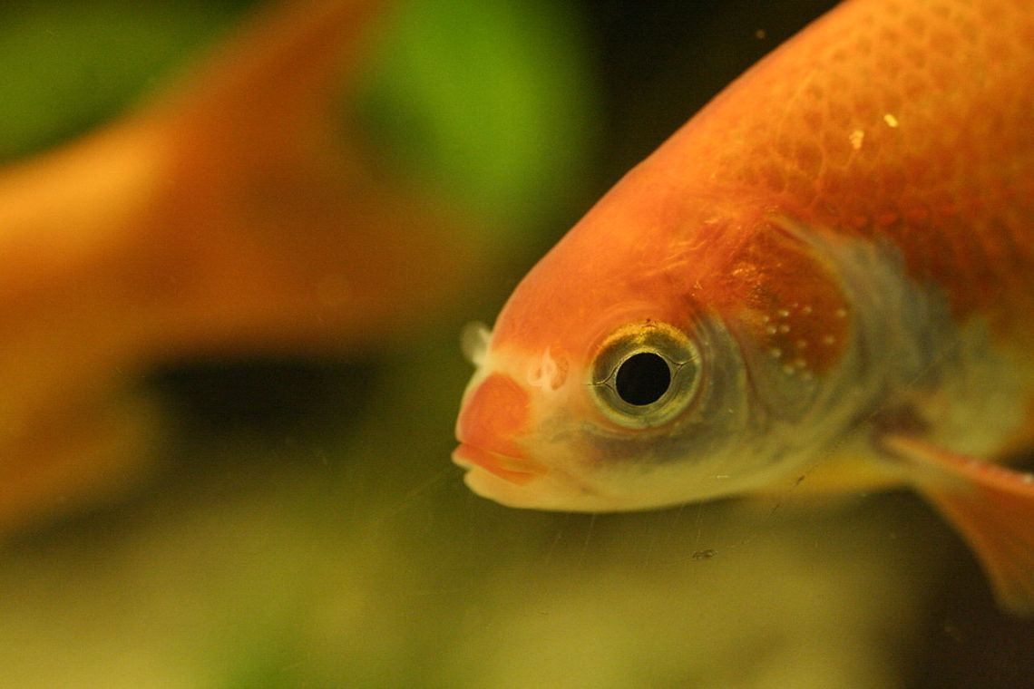 Goldfish_with_white_spots_on_gill_covers