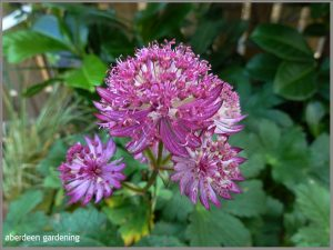 Astrantia major star of fire