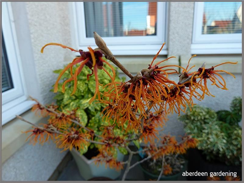 Hamamelis Pallida flowers have turned copper