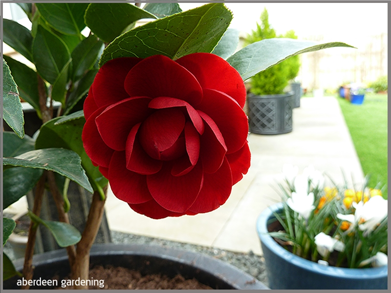 Showing a single bloom of the Camellia Black Lace. Stunning deep red flower