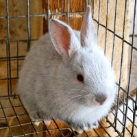 Gray Californian Rabbit Kits