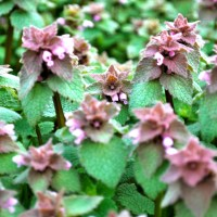 Free Rabbit Food: Self-Heal