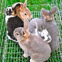 Naturally Treating Coccidiosis in Rabbits